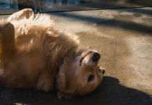 hond kammen